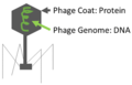 Generic Phage Structure.PNG