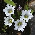 Gentiana thunbergii var. minor f. ochroleuca (Mount Tate).jpg