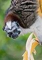 Geoffroy's Tamarin (Saguinus geoffroyi) 4.jpg