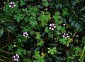 Geranium Salome - Flickr - peganum.jpg