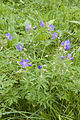 Geranium pratense frechencourt 80 12062008 2.jpg