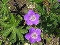 Geranium sylvaticum - Wald-Storchschnabel auf der Rax.jpg