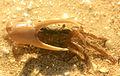 Gfp-fiddler-crab.jpg