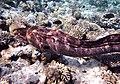 Gigantische Muräne im Roten Meer..DSCF3606ВЕ.jpg