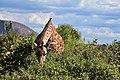 Giraffe, Ruaha National Park (20) (28454088580).jpg