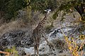 Giraffe, Ruaha National Park (28632314132).jpg
