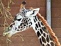 Giraffe (11392360793).jpg