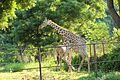 Giraffee 2 at Indira Gandhi Zoological Park, Visakhapatnam.jpg
