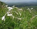 Gladiolus murielae Montepuez 2 (12173628713).jpg