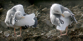 Uropygial gland - European herring gull (Larus argentatus): The bird on the right is uncovering its uropygial gland to distribute the gland's oil through the plumage by means of preening. The bird on the left is pushing its head towards its uropygial gland.
