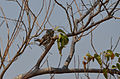Glaucidium perlatum -near Kwara Camp, North-West District, Botswana-8.jpg