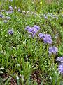Globularia cordifolia BOGA.jpg