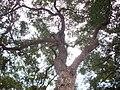 Glochidion ferdinandi tree.JPG
