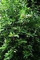 Glycosmis pentaphylla kz7.jpg