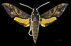 Gnathothlibus brendelli MHNT CUT 2010 0 64 palu sulawesi male dorsal.jpg