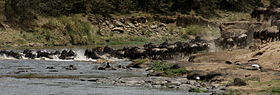 Gnus passing Mara River-02, by Fiver Löcker.jpg