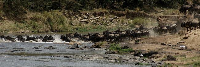 עדר גנואים כחולים חוצה את נהר מארה בקניה.