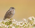 Golden-crowned Sparrow perched on Coyote Bush (38116064676).jpg