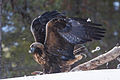 Golden Eagle (Aquila chrysaetos) (13668207994).jpg