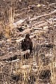 Golden eagle (10859922124).jpg