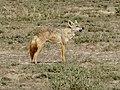 Golden wolf (33603668615).jpg