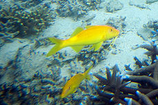 Goldsaddle goatfish Parupeneus cyclostomus (7504785368).jpg