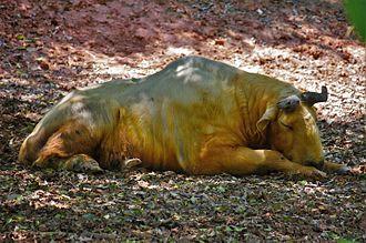 Golden takin - Sleeping takin