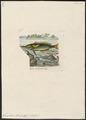 Gomphosus tricolor - 1833-1839 - Print - Iconographia Zoologica - Special Collections University of Amsterdam - UBA01 IZ13900145.tif