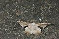 Gonodontis pallida (24062952920).jpg