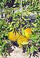 Granado fruto (Punica granatum).jpg
