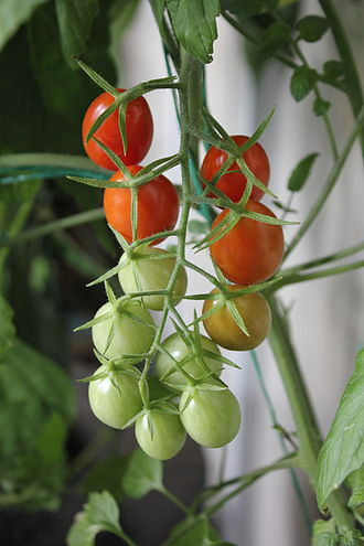 Grape tomato - A Grape tomato cluster partially ripened, growing hydroponically indoors under LED lighting