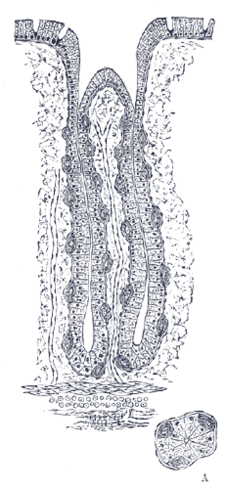 Gastric glands - Transverse section of fundic gland