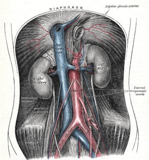 腎循環。赤い血管は腹大動脈、青い血管は上行大静脈 Wikipedia