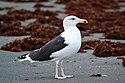 Great Black-backed Gull (Larus marinus) (15898029627).jpg