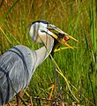 Great Blue Heron with Fish - Flickr - Andrea Westmoreland (1).jpg