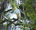 Great Egret. Ardea alba (24133978578).jpg
