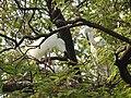 Great Egret Ardea alba by Dr. Raju Kasambe DSCN5044 (2).jpg