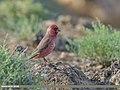 Great Rosefinch (Carpodacus rubicilla) (44552994504).jpg