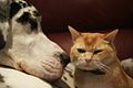 Great dane and cat.jpg