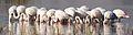 Greater Flamingo, Phoenicopterus roseus at Marievale Nature Reserve, Gauteng, South Africa (27290287034).jpg