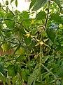 Green Cherry Tomatoes.jpg
