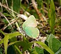 Green Hairstreak (26792028740).jpg