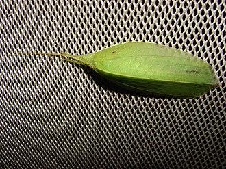 Leaf-mimic katydid - Image: Green Leaf Mimic Katydid (Aegimia Elongata) 07