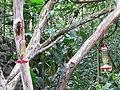 Green Violetear Hummingbirds - Inkaterra Machu Picchu Pueblo Hotel and Nature Reserve - Aguas Calientes, Peru (4875680765).jpg