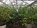 Greenhouses in Armenia 01.jpg