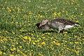 Grey Geese (105535679).jpeg