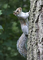 Grey Squirrel 2 (3613510087).jpg