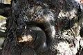 Grey Squirrel 3784 (5094810458).jpg