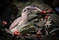 Grey hornbill on tree.jpg