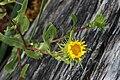 Grindelia integrifolia 6185.JPG